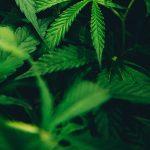 Toronto police officers and marijuana